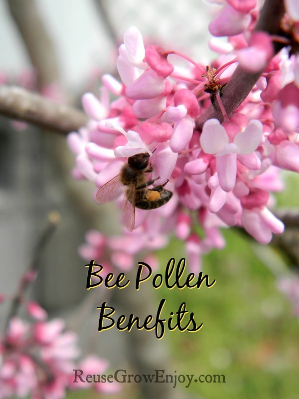 Bee with pollen sac on pink flowering tree with text overlay that says Bee Pollen Benefits