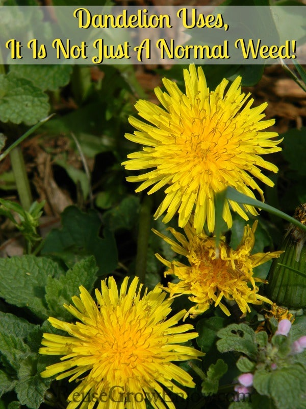 Dandelion Uses, It Is Not Just A Normal Weed