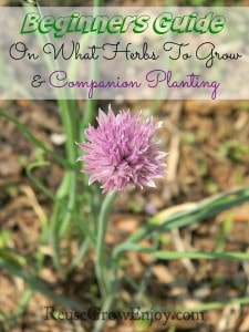 Purple chive flower growing on the top of chives. Text overlay at top that says Beginners Guide On What Herbs To Grow And Companion Planting
