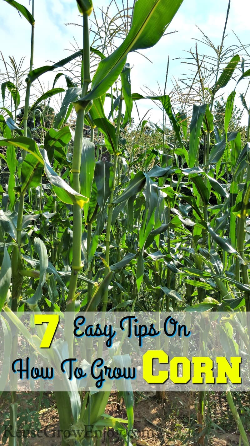 Thinking about growing corn in your garden? Check out these 7 Easy Tips On How To Grow Corn! Bet you did not know about #4!
