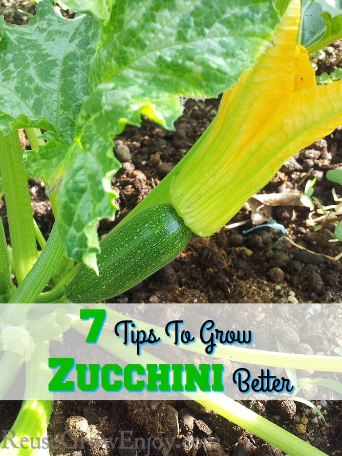 If you will be having a garden this year and think you may want to grow zucchini, check out these 7 Tips To Grow Zucchini Better!
