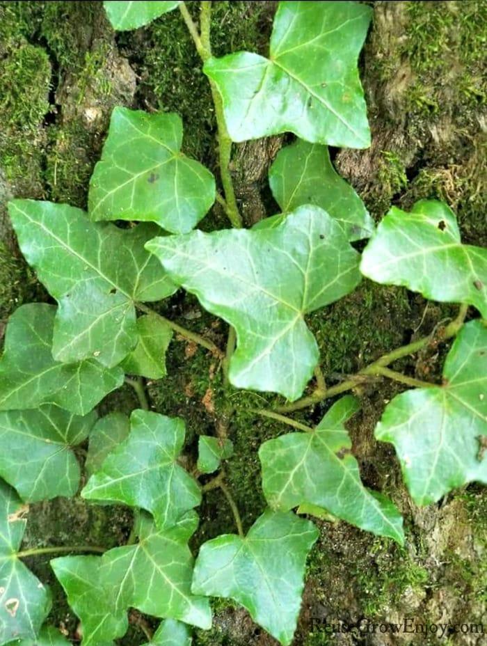 Climbing ivy growing up a tree