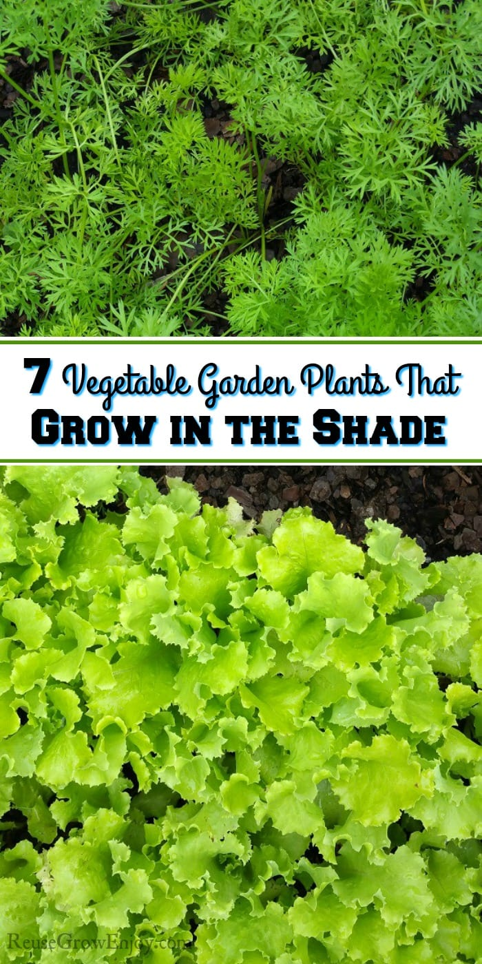 While it is ideal to grow a garden in sun, you can however also use shade areas to grow. Check out these 7 Vegetable Garden Plants That Grow in the Shade.