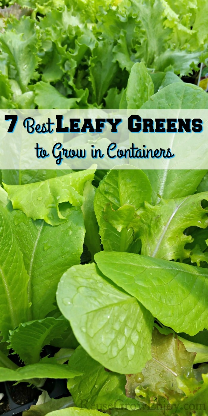 seedling leafy greens with a text overly that says 7 Best Leafy Greens To Grow In Containers