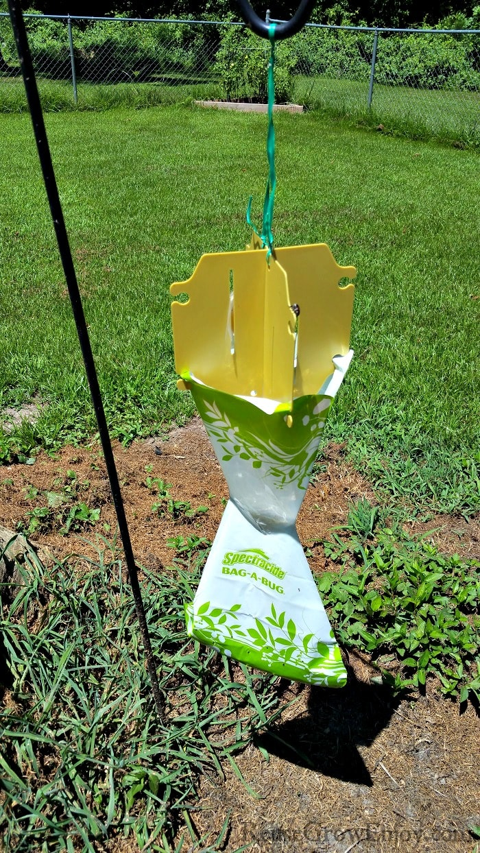 Bag a bug trap to catch June bugs.