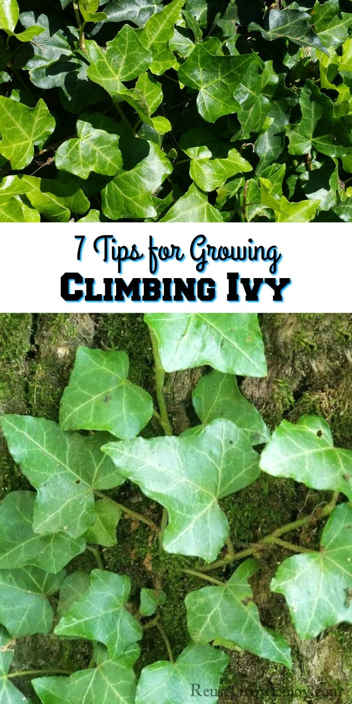 """Ivy at top. Ivy growing up a tree at bottom. Middle is a text overlay that says """"7 Tips For Growing Climbing Ivy"""""""
