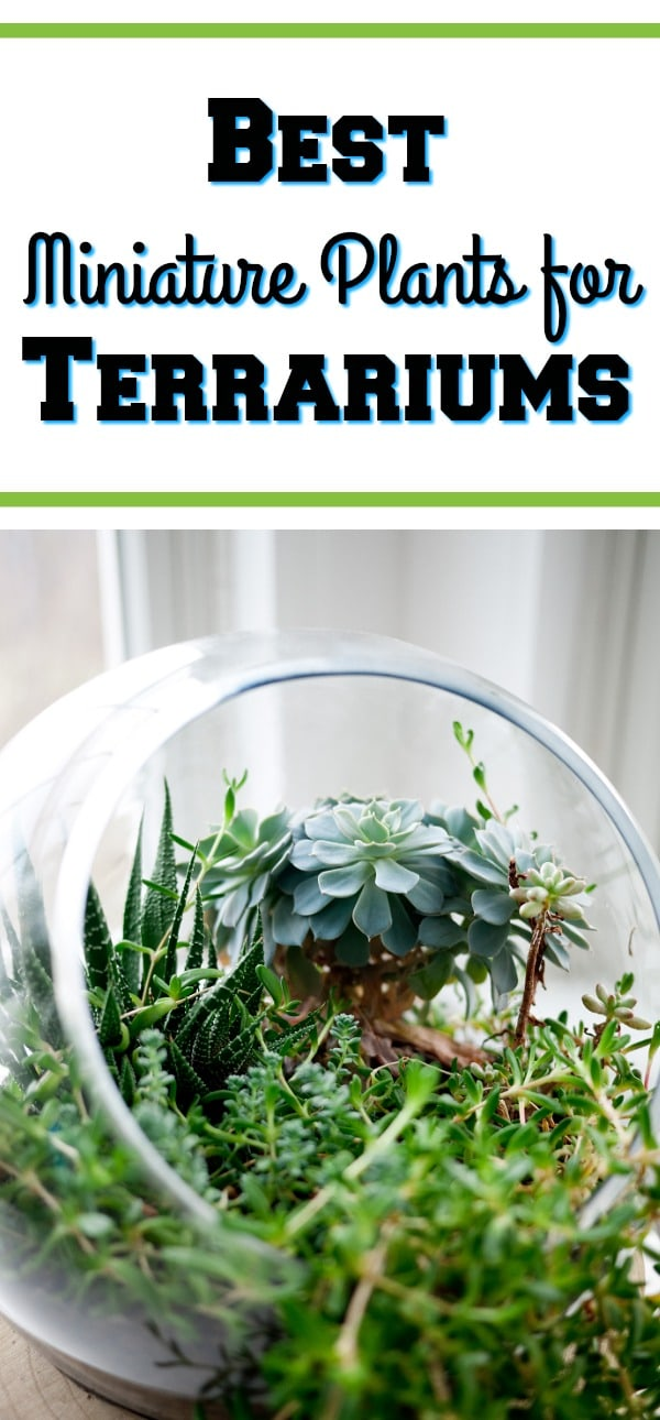 Are you thinking about adding a terrarium to your house? They really just add so much to a room! If you are, be sure to check out these Best Miniature Plants for Terrariums!