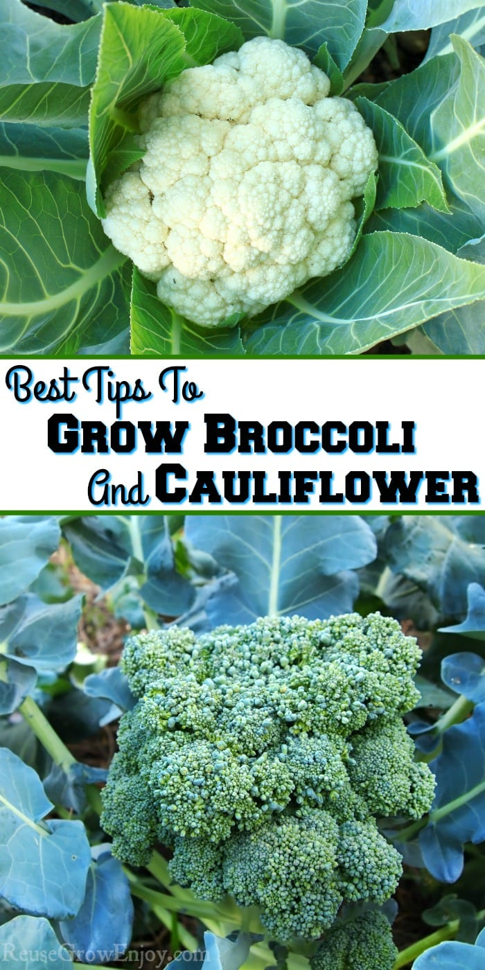 Cauliflower at top broccoli at the bottom. Text overlay in the middle that says Best Tips To Grow Broccoli And Cauliflower