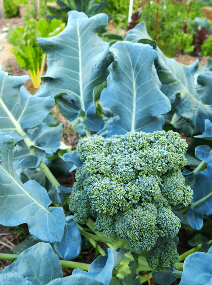 Broccoli plant growing in the garden