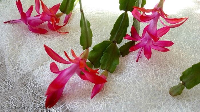 Bright pink flowers on a Christmas cactus.