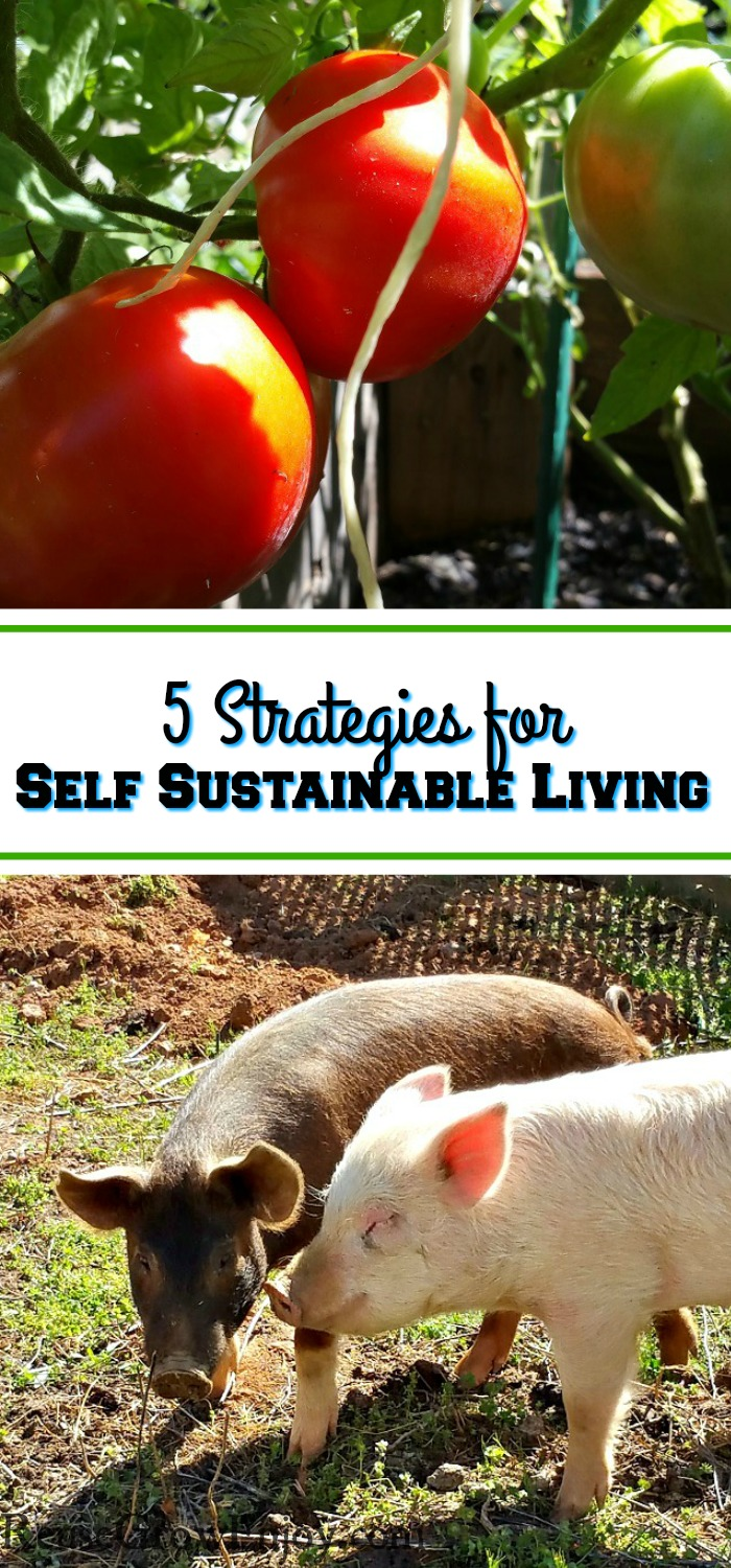 "Red and green tomatoes growing at the top and two pigs rooting a garden area at the bottom. In the middle there is a text overlay that says ""5 Strategies For Self Sustainable Living""."