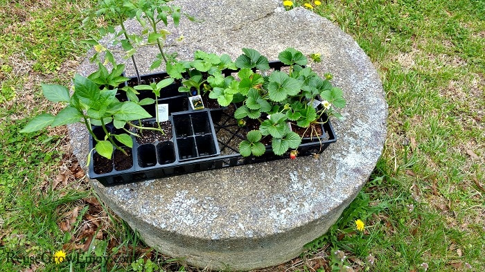 Black flat container holding seedling garden plants that is laying on a well top.