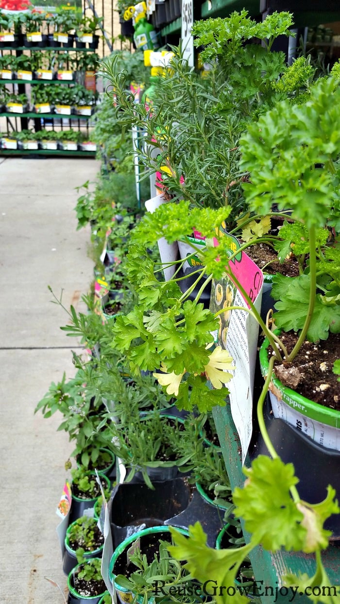 Gardening plants on shelves at a garden center that are just starting to wilt.