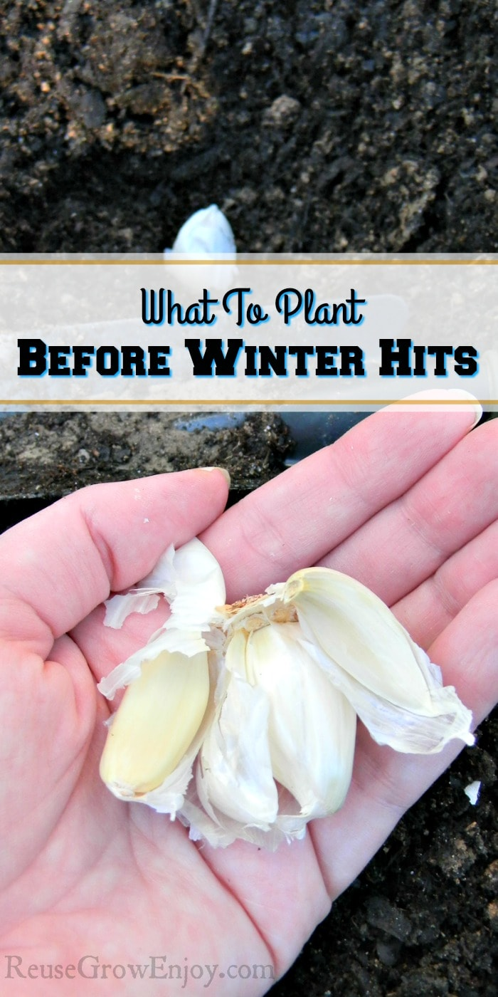 "Hand holding dry garlic bulbs, one bulb being planted in the black soil with a small shovel with a text overlay that says ""What To Plant Before Winter Hits""."