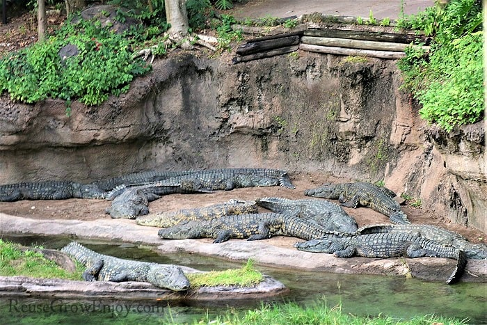 Check out all the crocodiles!