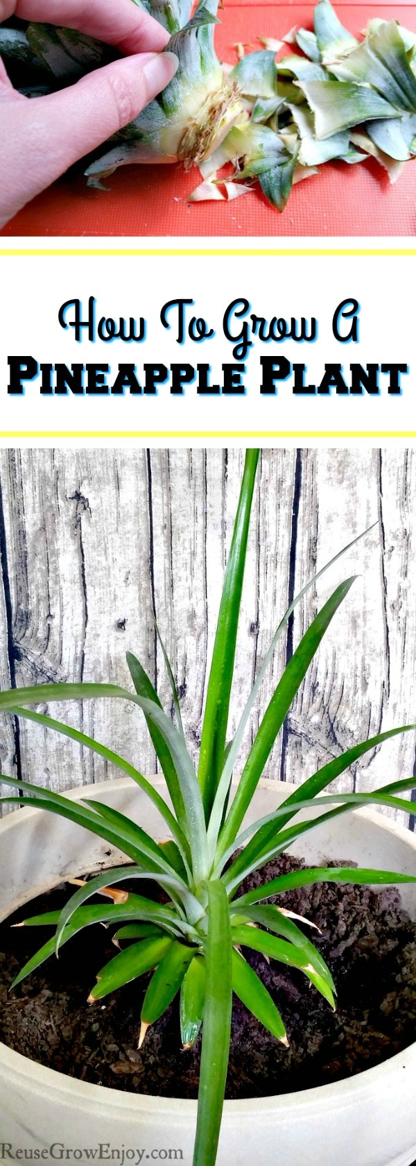 How to grow a pineapple plant reuse grow enjoy for How do i plant a pineapple top