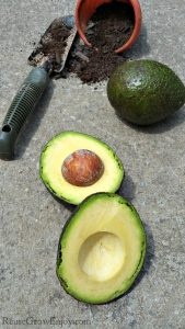 Grow Avocados – Tips How to Grow Your Own