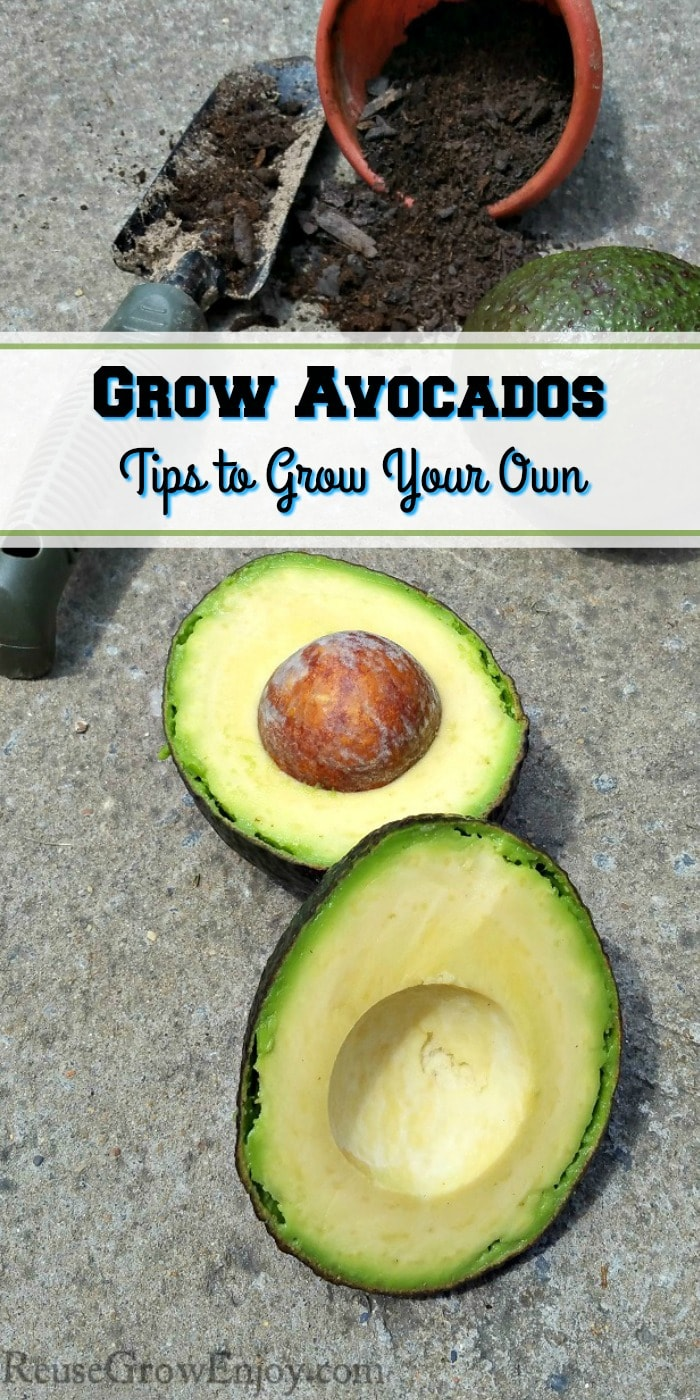 Are you someone that loves avocados? Have you ever wondered if you could grow avocados? You can! I am going to share some tips on how to grow your own!