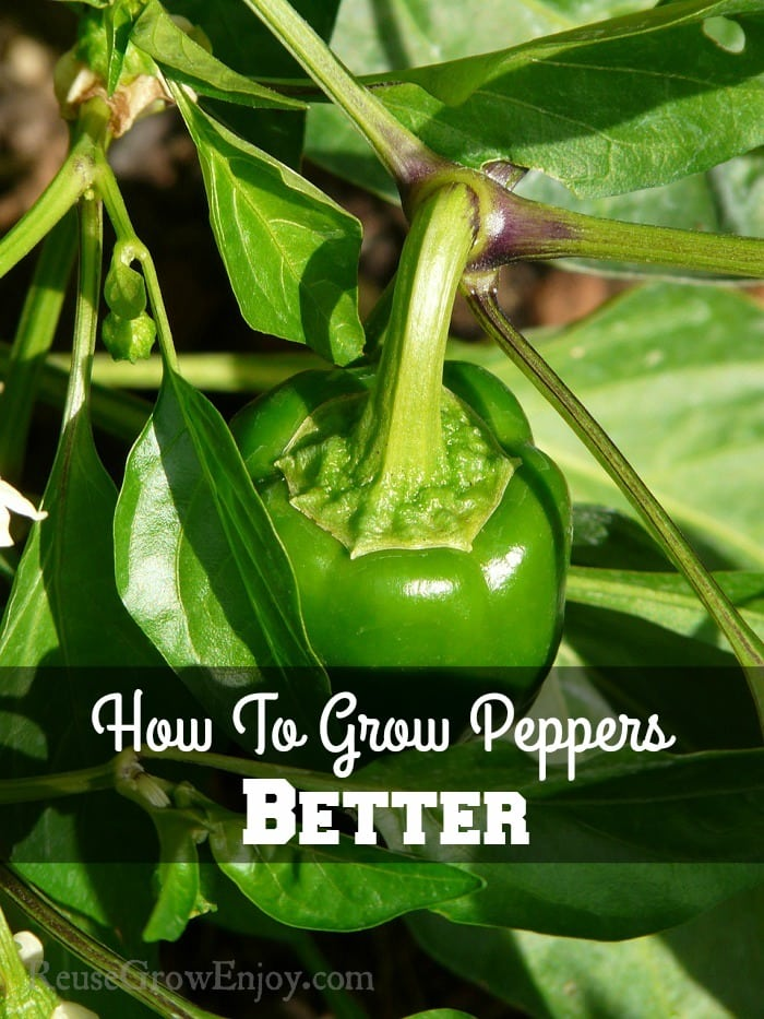 Green bell pepper growing on plant. Text overlay in the middle that says How To Grow Peppers Better