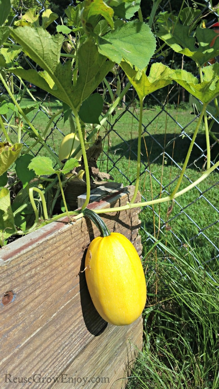 Growing Spaghetti Squash hanging over side of wood raised bed.