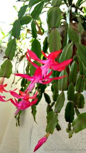 Christmas Cactus plant in full bloom with bright pink flowers.