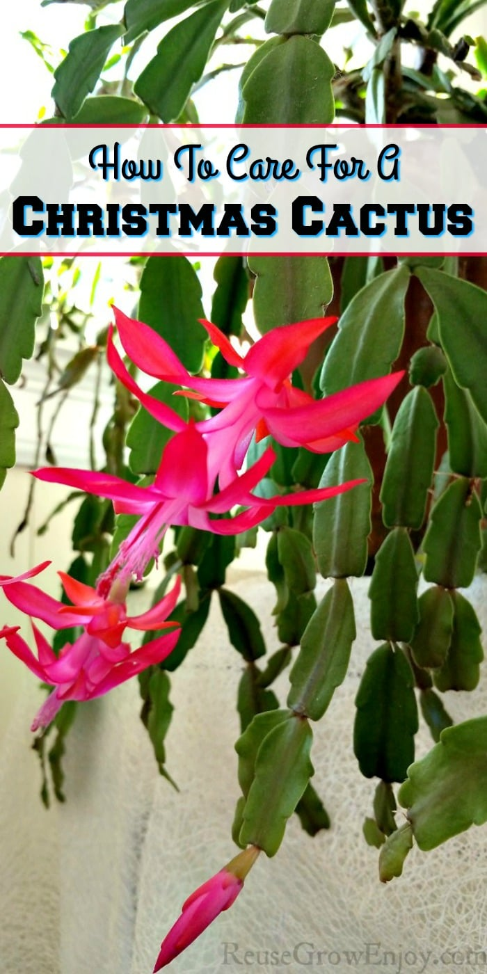 "Bright blooming pink flowers on a Christmas cactus with a text overlay that says ""How To Care For A Christmas Cactus""."