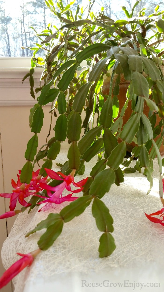 How To Care For Christmas Cactus.How To Care For A Christmas Cactus Plant Aka Schlumbergera