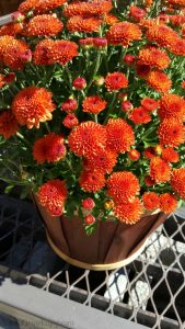 Orange mums in wood basket
