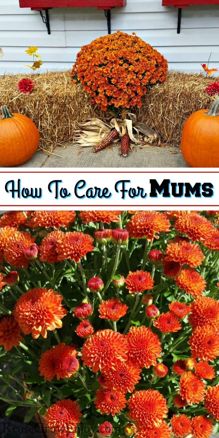 Top is orange mums on hay with pumpkins in front. Bottom is close of orange mums. Middle is a text overlay that says How To Care For Mums