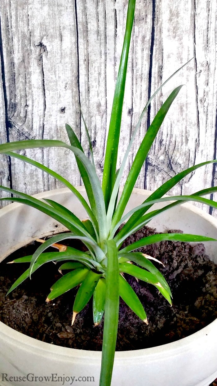 Grow a pineapple plant in a large pot indoors with a board looking background.