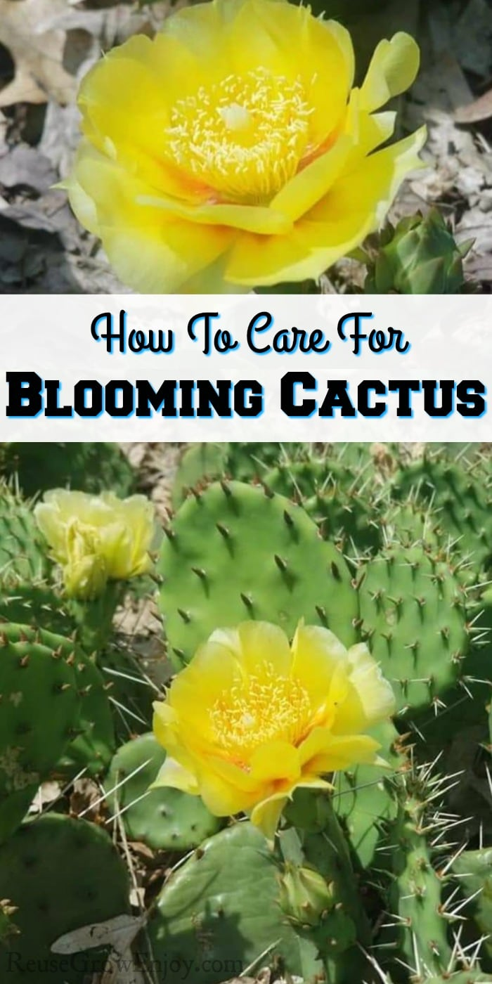"""Yellow flower on cactus at top and bottom. Middle is a text overlay that says """"How To Care For Blooming Cactus"""""""