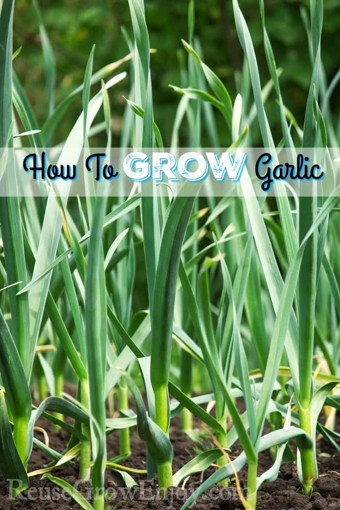 How To Grow Garlic Reuse Grow Enjoy