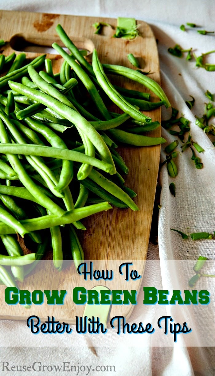 How to grow green beans better with these tips reuse for Indoor gardening green beans