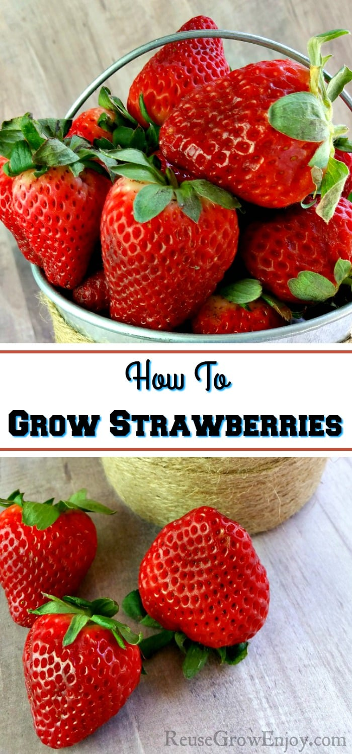 Small tin bucket wrapped in twine filled with fresh strawberries. The fresh strawberries in front of the bucket laying on a wood background. Text overlay in the middle that says How To Grow Strawberries.