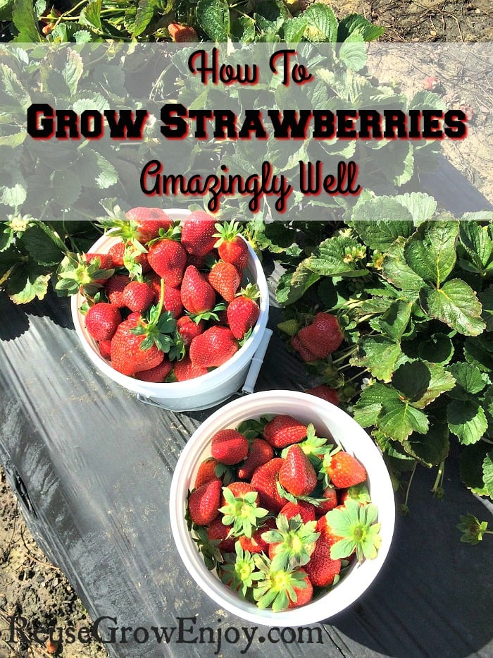 Two small white buckets filled with fresh strawberries sitting in front of a row of strawberry plants. Text overlay that says How To Grow Strawberries Amazingly Well
