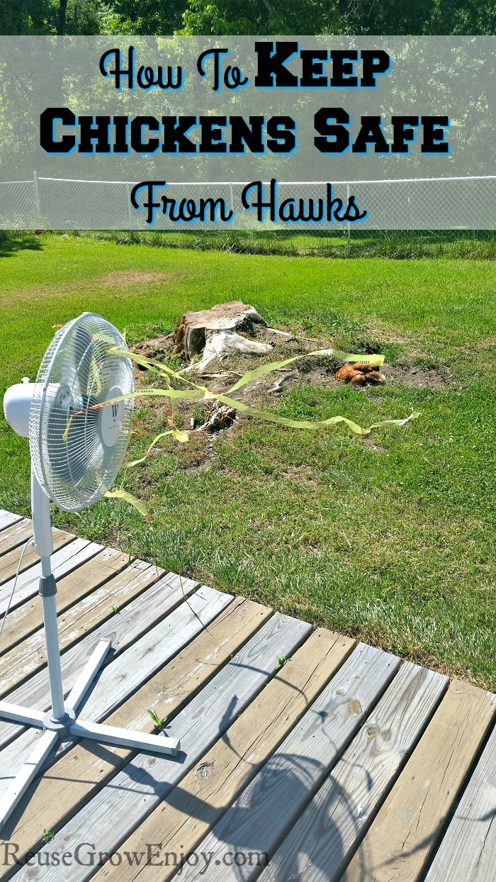 Do you have trouble with hawks and keeping your chickens safe? Check out this tip to keep them safe when you step away.