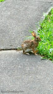 Rabbit eating grass at edge of sidewalk