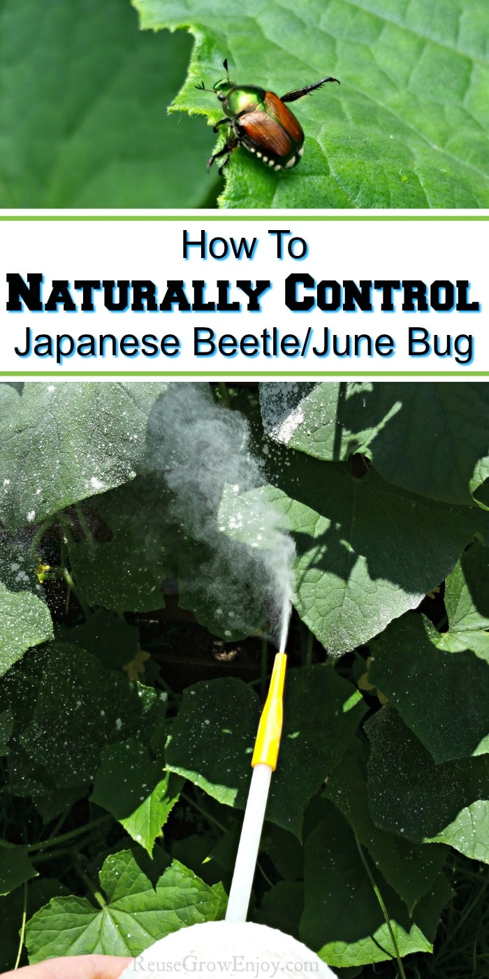 June bug on leaf at top powder duster dusting leaves at bottom. Text overlay in middle that says How To Naturally Control Japanese Beetle.