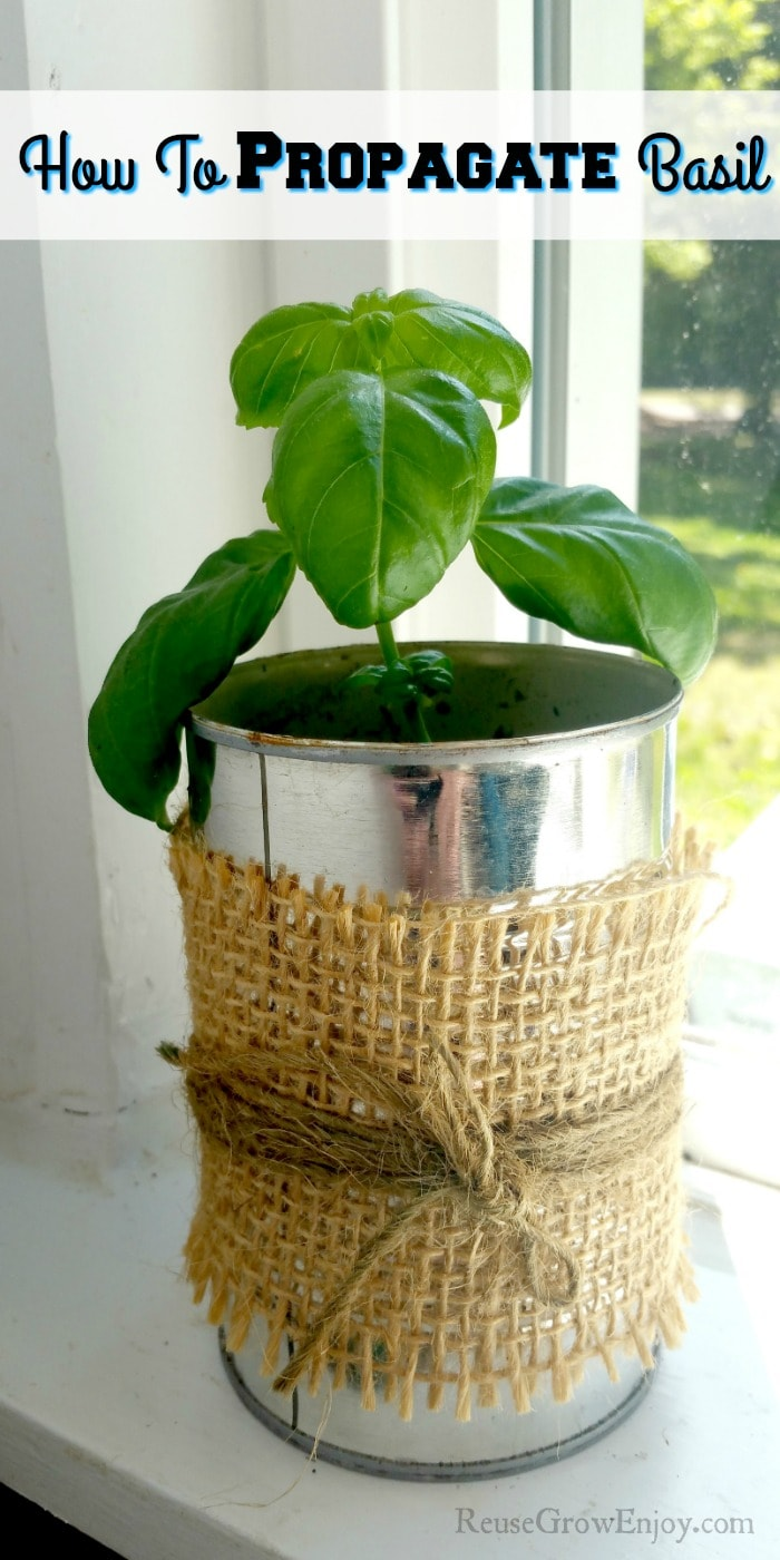"Basil cutting growing in can in window with text overlay at the top that says ""How To Propagate Basil"""