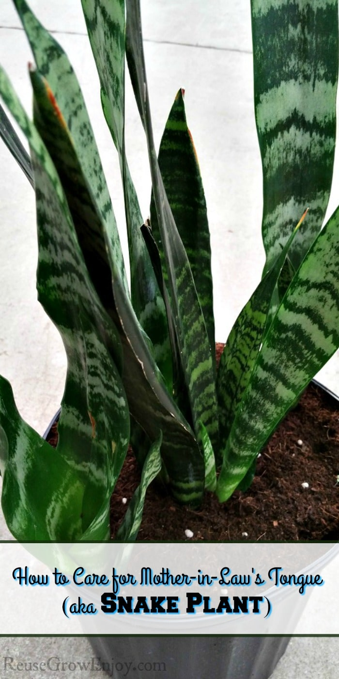 Getting a new houseplant and wondering if it is hard to take care of a snake plant? Be sure to check out these tips on how to care for a mother-in-law's tongue (aka snake plant)!