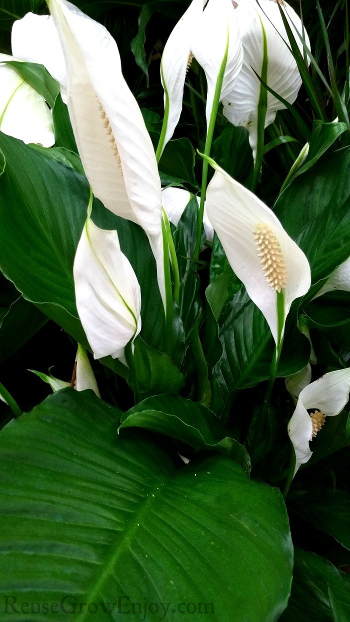 How To Care For A Peace Lily Plant Reuse Grow Enjoy