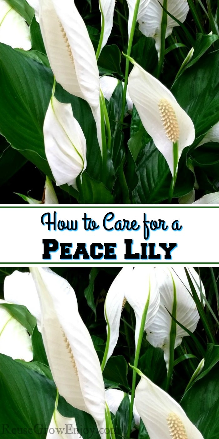 Big pretty Peace Lily plant with bright green leaves and white flowers. Text overlay that says