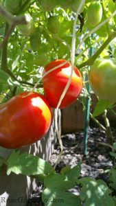 Red and green tomatoes growing on plant