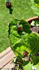 Japanese Beetle (aka June Bug) eating holes in leaves of a plant.