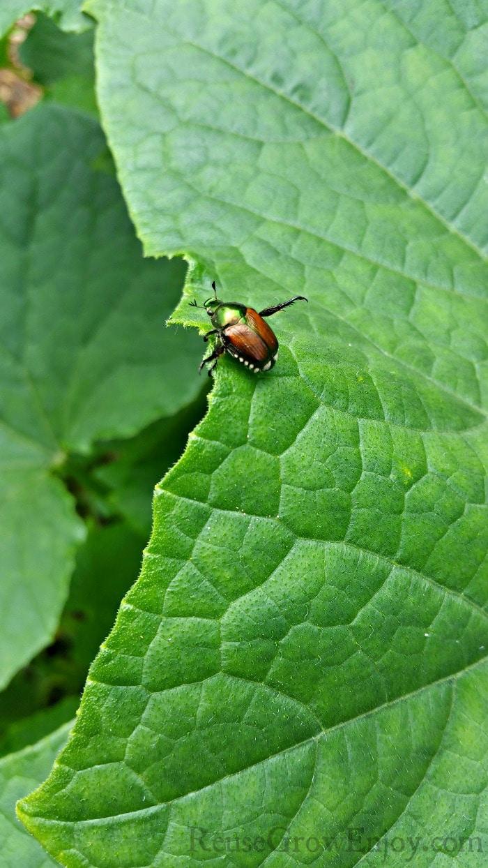 June Bug on new leaf