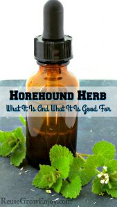 Marrubium Vulgare or Horehound Herb – What It Is And What It Is Good For
