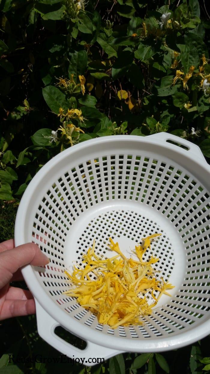 Pick yellow honeysuckle flowers