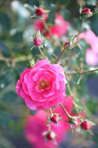 Pink roses on the bush