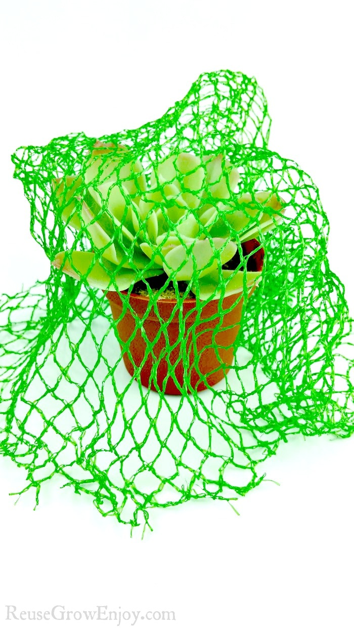 Small potted plant with green mesh produce bags draped over it to keep birds away.