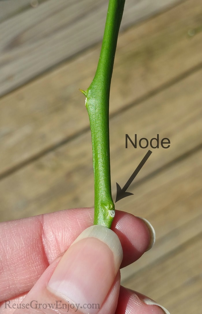 Fingers holding a plant cutting just below the node.